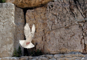 Beautiful white pigeon taking off from the wailing wall in Jerusalem.